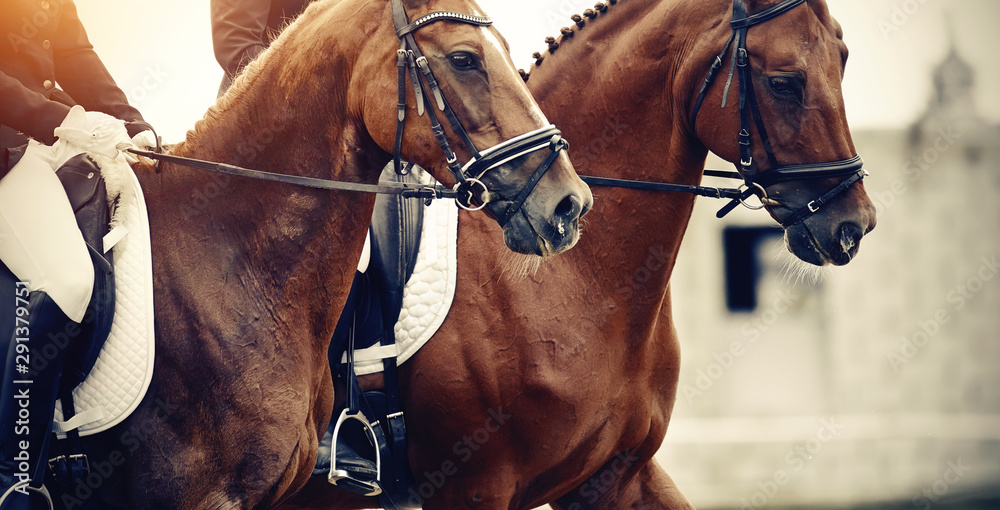 Fototapety, obrazy: Equestrian sport. Portraits of two sports horses, black and red color in the double bridle.
