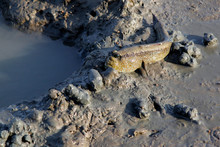 Mudskipper Or Amphibious Fish ...