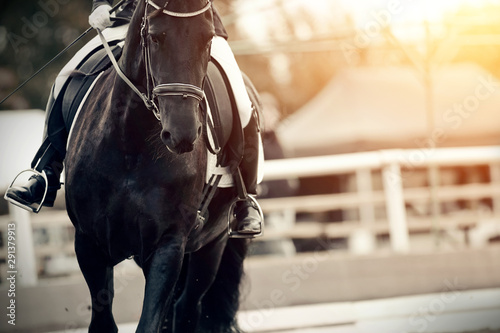 Obraz Equestrian sport. Portrait sports black stallion in the bridle. The leg of the rider in the stirrup, riding on a red horse. - fototapety do salonu