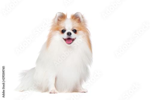 Obraz Full length picture of long haired spitz isolated on white - fototapety do salonu