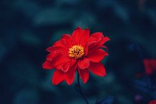 Beautiful Fairy Dreamy Magic Crimson Scarlet Red Dahlia Flower On Faded Blurry Blue Purple Background. Dark Art Moody Floral.  Toned With Filters In Retro Vintage Style.