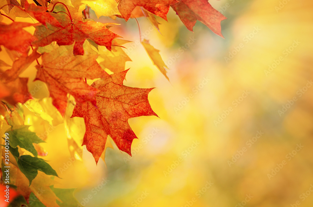 Fototapeta Colorful autumn maple leaves on a tree branch. Golden autumn foliage leaves background with copy space.