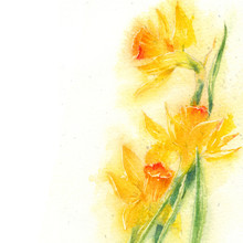 Watercolor Drawing Of Yellow Spring Narcissus On White Background