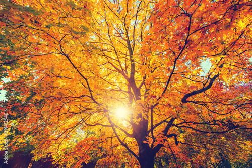 Fotografía Sunny autumn golden maple tree