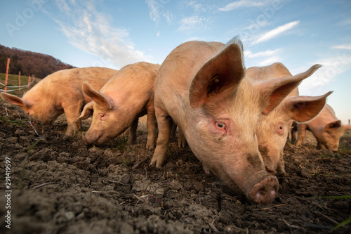 Fotografia  Pigs eating on a meadow in an organic meat farm - wide angle lens shot