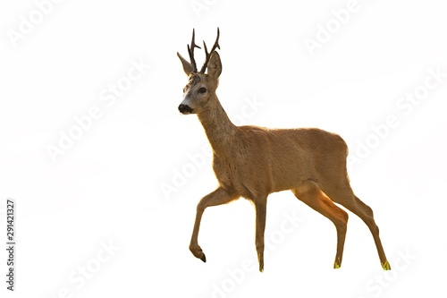 Roe deer, capreolus capreolus, buck walking in summer at sunset isolated on white background. Cut out wild animal with leg in the air.