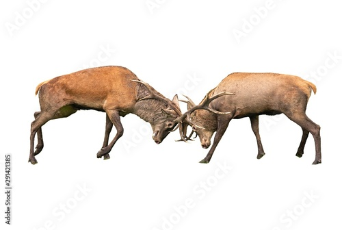 Photographie  Red deer, cervus elaphus, fight during the rut isolated on white background