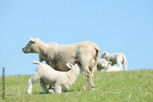 white ewe suckling sheep lamb on pasture