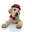 little labrador retriever puppy wearing bow tie and  hat
