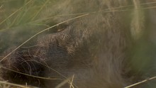 Extreme Close-up Of A Hyenas Face Through The Tall Grass As Flies Swarm Around Under The Hot Sun.