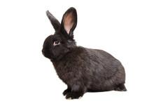 Curious Black Rabbit Sitting I...