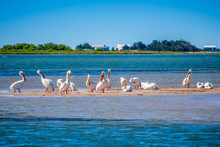 A Group Of American White Pelicans Resting Around In Padre Island NS, Texas