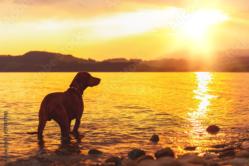 Gorgeous family pet dog on a beach at sunset Fototapete