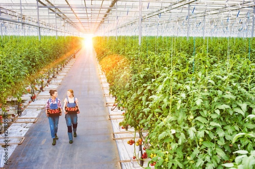 Fototapety, obrazy: Young female farmers carrying tomatoes in crate with yellow lens flare in background