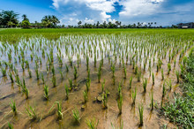 Rice Field Under Water, Kampot...
