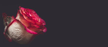 Flower Bud Of A Rose On A Black Background Close-up, Decor Of A Mock For A Holiday, A Flat Lay View From Above