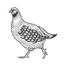 Partridge Perdix Bird Sketch Engraving Vector Illustration. Tee Shirt Apparel Print Design. Scratch Board Style Imitation. Hand Drawn Image.