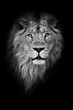 Black-white portrait, isolated black background. Muzzle powerful male lion with a beautiful mane close-up.