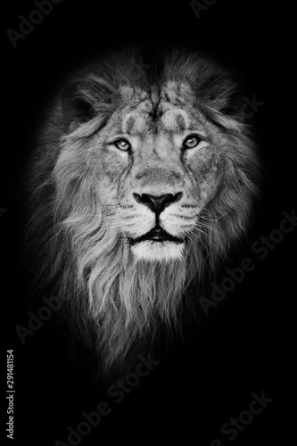 Fototapety, obrazy: Black-white portrait, isolated black background. Muzzle powerful male lion with a beautiful mane close-up.