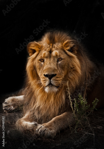 Fototapety, obrazy:  beast is a powerful maned male lion. Impressively lies and rests at night, black background, consecrated by light.