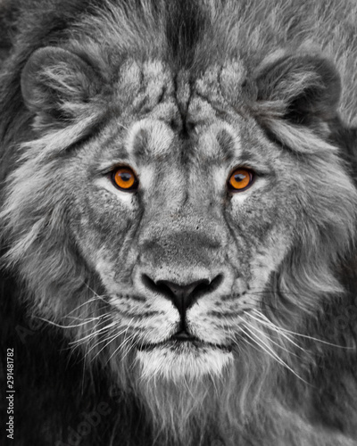 Muzzle with a beautiful mane in full screen, amber eyes black and white. Muzzle powerful male lion with a beautiful mane close-up.