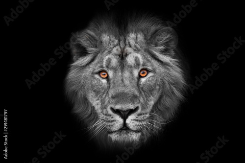 Muzzle with a beautiful mane of wool with amber eyes black and white., isolated black background. Muzzle powerful male lion with a beautiful mane close-up.
