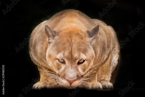 Spoed Fotobehang Puma Powerful body and portrait of a cougar (cougar) close-up full face, looking directly at you, isolated black background.