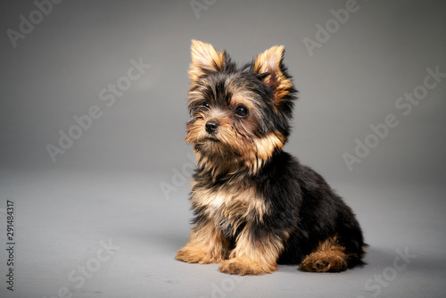 Fotografía  Yorkshire Terrier puppies