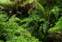 Beautiful Bright Fern And Moss Grown Up Cover The Rough Stones And On The Floor. Show With Macro View. Invigorating Green In The Evergreen Forest Texture In Nature. Soft Focus.
