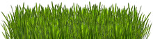 Green Grass With Dew Isolated On White Background