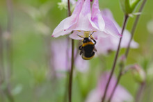 Aquilegia Flower With Bumblebe...