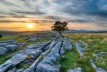 Sunset Over A Windswept Hawthorn Tree Growing Out Of A Limestone Pavement
