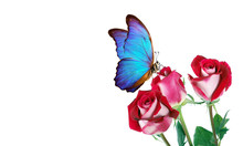 Morpho Butterfly Sitting On A Roses Isolated On White. Red Roses And A Bright Blue Butterfly Close Up. Decor For Greeting Card. Copy Spaces.