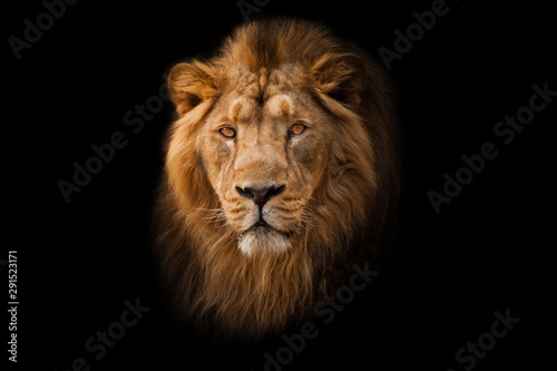 Fototapety, obrazy: Powerful  and confident maned male lion with yellow (amber) eyes resembling a king imposingly. portrait in isolation, black background.