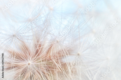 Blowball texture close up. Dandelion seeds abstract macro on blue sky background. Shallow depth of field soft focus - 291527140