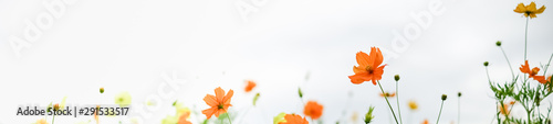 Close up of beautiful orange and yellow cosmos flower with green leaf under sunlight using as background natural plants landscape, ecology wallpaper or cover concept.