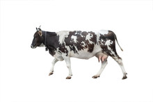 Going Black - White Cow Isolated On A White Background.