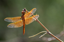 Red Dragonfly On A Stick