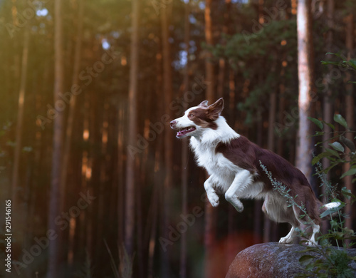 Fotografia Gorgeous border collie getting ready for a jump from a stone in the sunset