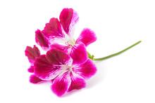 Pelargonium Grandiflorum Imperial