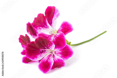 Photo Pelargonium grandiflorum Imperial