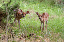 Fawns Whitetail Deer In The Fo...