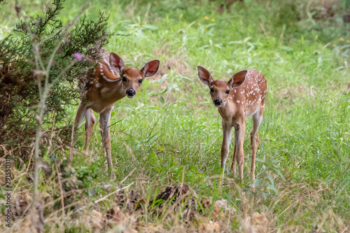 Canvas Print fawns whitetail deer in the forest