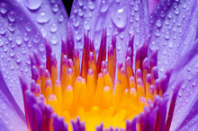 Macro Yellow Carpel Of Purple Lotus Flower