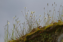 White Daisies Growing On Moss Covered Old Stone Wall With Sky Background. Natural Flora Background
