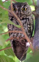 A Screech Owl Hiding On Its Roost During Daylight