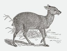 Threatened Siberian Musk Deer Moschus Moschiferus In Side View. Illustration After An Engraving From The 19th Century