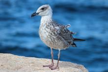 European Herring Gull Chick (Silbermöwe, Larus Argentatus)