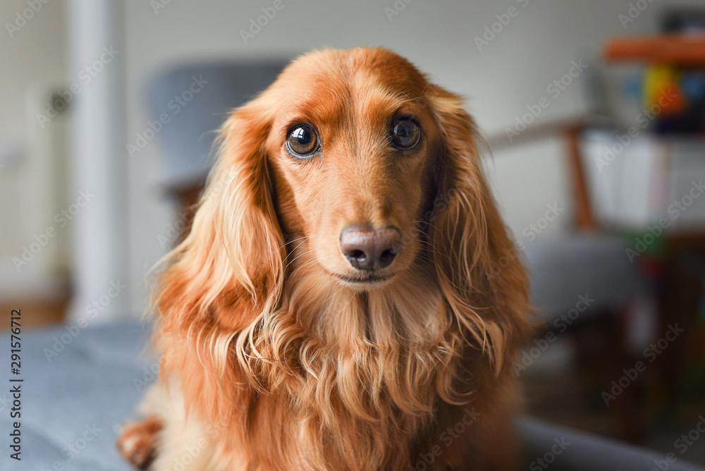 Fototapety, obrazy: Close up of long haired Dachshund