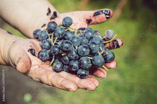 Fototapeta blue grapes in old hands, harvest, rumpled, juice flows by hand obraz na płótnie